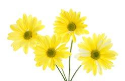 Vier gelbe Shasta Gänseblümchen-Blumen getrennt auf Weiß Stockbild
