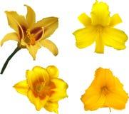 Vier gele geïsoleerde leliebloei Stock Afbeelding