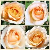 Vier gele rozendesin Royalty-vrije Stock Afbeeldingen