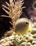 Vier-Gemusterte Basisrecheneinheitsfische Stockbilder