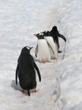 Vier gentoo Pinguine im Schnee Stockfotos