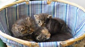Vier Gestreepte Katjes van Drie Weken Oud stock videobeelden