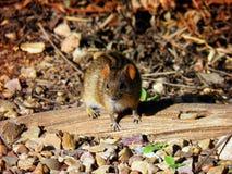 Vier-gestreifte Maus in Addo National Park Lizenzfreies Stockbild