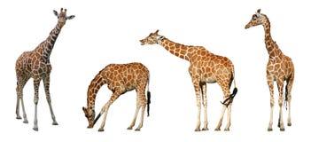 Vier Giraffen Stockfoto