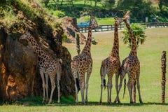 Vier Giraffen ein heißen Tag stockbild
