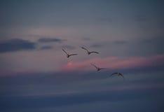 Vier Graugans-Gänse, die bei Sonnenuntergang fliegen Stockfotos
