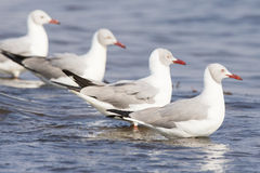 Vier Grey Headed Gulls stock afbeelding