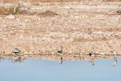 Vier grijze reigers bij een waterhole in Noordelijk Namibië Stock Afbeeldingen