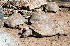 Vier große Erdschildkröten liegen und stehen aus den Grund an einem sonnigen Tag still Stockfotografie