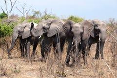 Vier große Elefanten schließen oben in Nationalpark Chobe, auf Safari in Botswana, südlicher Afrika lizenzfreies stockbild