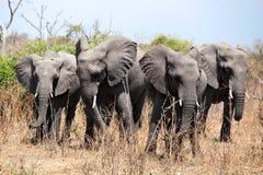 Vier große Elefanten schließen oben in Nationalpark Chobe, auf Safari in Botswana, südlicher Afrika lizenzfreie stockfotografie