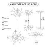 Vier Hauptarten Neuronen auf Weiß Stockbilder