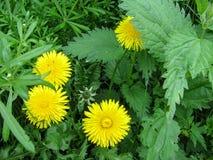 Vier helder gele paardebloembloemen, zoals de zonnen onder de groene jonge netels en de stammen van de messen Royalty-vrije Stock Foto's