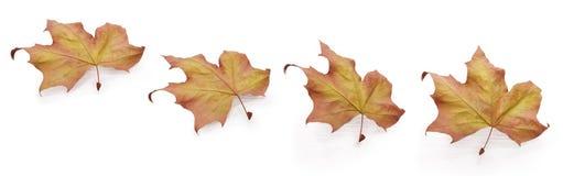 Vier Herbstblätter Stockfotografie
