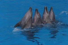 Vier het dansen dolfijnen Stock Foto