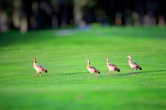 Vier het Egyptische ganzen lopen Stock Foto