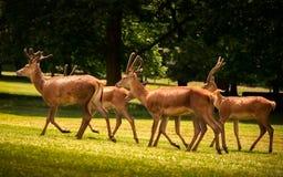 Vier het Jonge Rode Herten Lopen Stock Foto