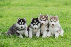 Vier het Siberische schor puppy zitten stock foto