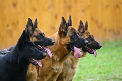 Vier honden Royalty-vrije Stock Afbeelding