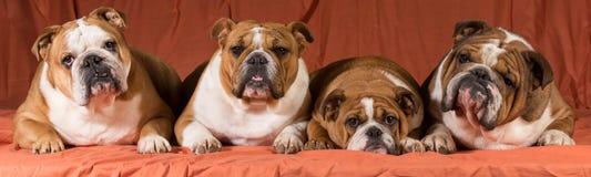 Vier honden Royalty-vrije Stock Foto