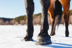 Vier Hufe eines Pferds auf einem sonnigen Gebiet des Winters stockbild