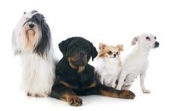 Vier Hunde lizenzfreies stockfoto