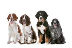 Vier Hunde in einer Reihe Lizenzfreies Stockbild