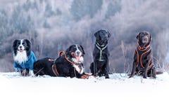 Vier Hunde sitzen im Schnee Es gibt border collie, bernese Gebirgshund und schwarzes und braunes labrador retriever Es ist Winter stockfotografie