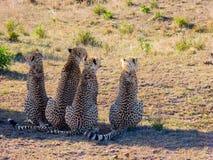 Vier jachtluipaarden Stock Foto's
