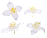 Vier jasmijnbloemen die op wit worden geïsoleerd$ Stock Afbeelding