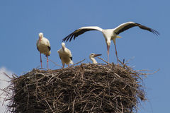 Vier jonge witte ooievaars op het nest Royalty-vrije Stock Foto