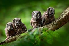 Vier junge Eulen Nördliche Eule des kleinen Vogels, Aegolius-funereus, sitzend auf dem Baumast im grünen Waldhintergrund, Junge,  Lizenzfreies Stockfoto