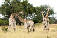 Vier junge Giraffen Stockbild