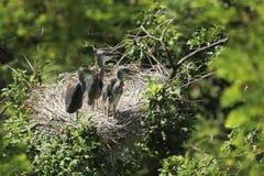 Vier junge Graureiher im Nest auf dem Baum stockfoto