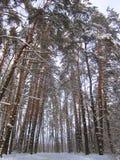 Vier Kerstbomen in het de winterbos Stock Afbeeldingen