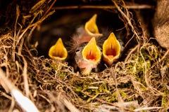 Vier kleine bekken die in het nest gillen Stock Foto