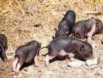 Vier kleine Ferkel, ungef?hr 4 Wochen alt, schwarz-haarig stockfotografie