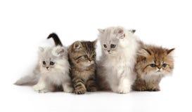 Vier kleine persische Kätzchen Stockfotos