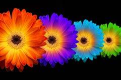 Vier kleurrijke gerberas op zwarte achtergrond Stock Foto's