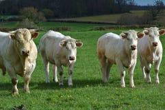 Vier koeien royalty-vrije stock fotografie