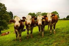 Vier koeien Royalty-vrije Stock Foto's