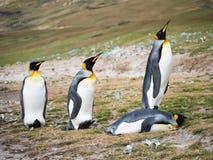 Vier Koning Penguins met op Zijn Buik royalty-vrije stock afbeelding