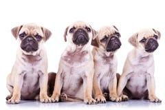 Vier kostbare pug puppyhonden Stock Afbeelding