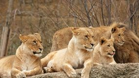 Vier Leeuwen Stock Foto