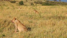 Vier leeuwinnen treffen voor een aanval op het meest wildebeest voorbereidingen stock video