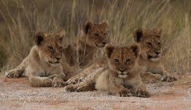 Vier leeuwwelpen Stock Foto