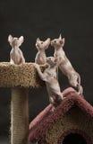 Vier leuk sfinxkatje Royalty-vrije Stock Afbeeldingen