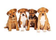 Vier Leuke Puppy samen Royalty-vrije Stock Afbeeldingen