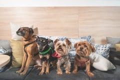 Vier lustige nette Hundeex verlassene Obdachlose, die von den guten Leuten angenommen werden und Spaß auf den Kissen im Geschäft  stockbilder