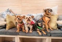Vier lustige nette Hundeex verlassene Obdachlose, die von den guten Leuten angenommen werden und Spaß auf den Kissen im Geschäft  stockfotos